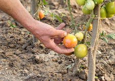 The process of harvesting ripe tomatoes Stock Photos