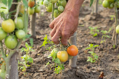 The process of harvesting ripe tomatoes Stock Image