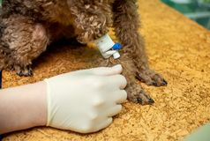 The process of introducing an animal into anesthesia royalty free stock photos