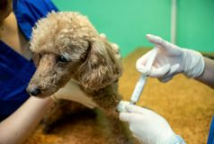 The process of introducing an animal into anesthesia royalty free stock photography