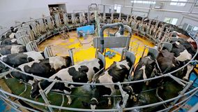 Process milking cows. Cow milking facility on modern farm. Milking machine. Process milking cows. Dairy cows on milking machine. Automated equipment for milking stock footage