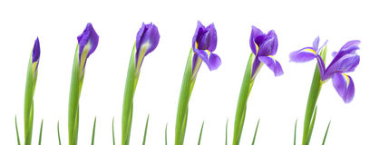 Process of opening of iris. Flower, isolated on white royalty free stock photography