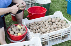 The process of preparing potatoes for planting. In the field Royalty Free Stock Photos
