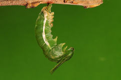 The process of pupation (3/8)butterfly Stock Photo