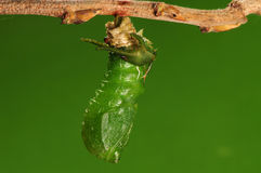 The process of pupation (6/8)butterfly Royalty Free Stock Photo