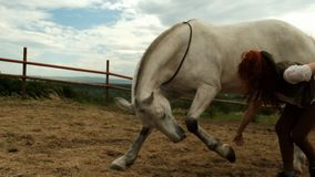 The process of training a horse. The stallion lowers his fart leg and lies down on the ground.