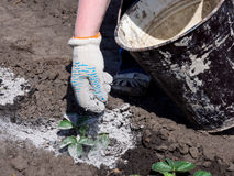 The process of treating shoots of plants with wood ash to protect against pests.  Royalty Free Stock Photo