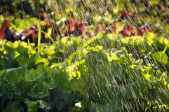 Process of watering the garden plants. Royalty Free Stock Photography