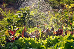 Process of watering the garden plants. Royalty Free Stock Photos