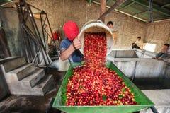 Processamento de cerejas do café Fotografia de Stock