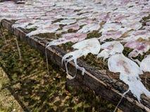 Processamento do calamar seco no sul de Tailândia Foto de Stock