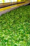 Processamento do chá imagens de stock