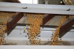 Processamento do milho Imagem de Stock Royalty Free