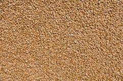 Processe麦子纹理 免版税库存图片