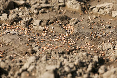 Processed wheat. sowing. Processed reddened wheat lying on the ground at the time of sowing of cereals Stock Image
