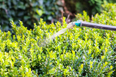 Processing of boxwood bushes by pesticide Stock Images