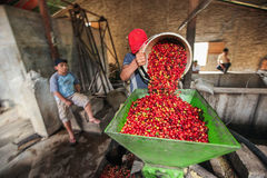 Processing of coffee cherries Royalty Free Stock Photos