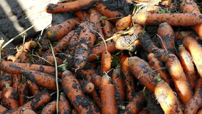 Processing of fresh carrots stock footage
