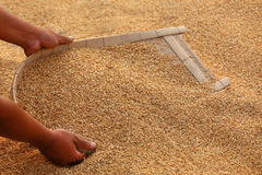Processing golden paddy seeds Royalty Free Stock Images