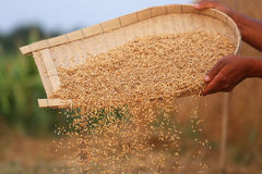 Processing golden paddy seeds Royalty Free Stock Image