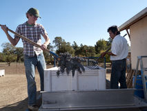 Processing grapes to wine. Two workers pouring grapes for further processing at a winery Stock Photo