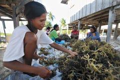 Processing Seaweeds Stock Photo