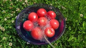Processing tomato ozone