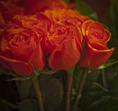 Procession of Roses Stock Photography