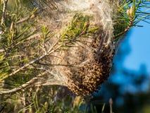 Processionaria del bozzolo del nido del pino dei trattori a cingoli di peste fotografie stock libere da diritti