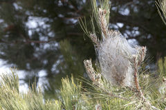 Processionary conífero mediterrâneo do pinho infestado Barraca da teia de aranha Imagem de Stock Royalty Free