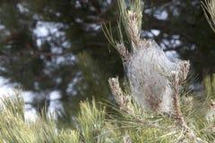 Processionary conifére méditerranéen de pin infesté Tente de toile d'araignée Image libre de droits