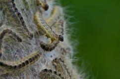 Processionary larver för ek Arkivfoton
