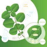 Processo da fotossíntese na planta As plantas fazem o alimento usando a luz solar Esquema da biologia da fotossíntese para a educ ilustração royalty free