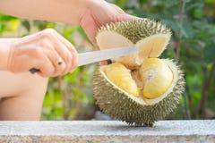 Processo de Durian da abertura no jardim Imagens de Stock Royalty Free