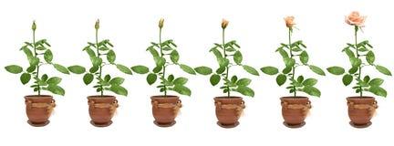 Processo de florescência de uma rosa Imagens de Stock Royalty Free