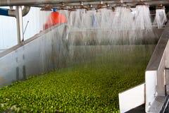 Processo de trabalho da produção de ervilhas verdes na fábrica de conservas Fotografia de Stock Royalty Free