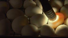 Processo de verificar embriões dentro dos ovos com o ovo-verificador vídeos de arquivo