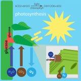 Processo di fotosintesi Fotografie Stock Libere da Diritti