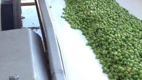 Processo di lavoro della produzione dei piselli sul conservificio Piselli maturi che lavano in acqua prima della conservazione archivi video