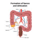 Processo digestivo in esseri umani illustrazione di stock