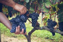 processo do winemaking Imagem de Stock