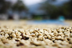 Processus rouge de grain de café de baies dans l'usine Image stock