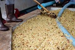 Processus rouge de grain de café de baies dans l'usine Photo stock