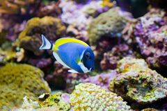 Prochowego błękita blaszecznicy ryba Obraz Stock