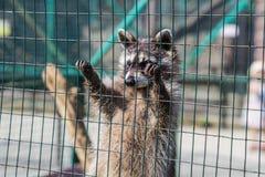 Procione che appende sulla gabbia in zoo immagini stock