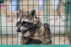 Procione che appende sulla gabbia in zoo fotografia stock