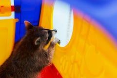 Procione curioso, un animale domestico Immagine Stock Libera da Diritti