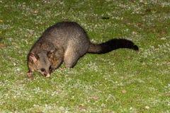 Procione dell'opossum munito spazzola nell'isola del canguro fotografie stock libere da diritti