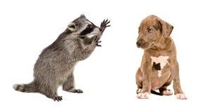 Procione divertente e un cucciolo sveglio del pitbull fotografia stock libera da diritti