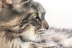 Procione lavatore 001 della Maine del gatto fotografia stock